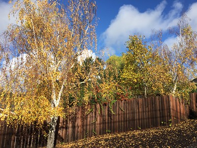 Birch and other trees in Autumn
