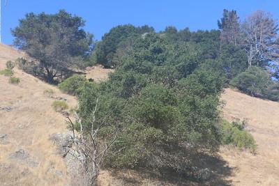 Wild oak trees on barren hillside