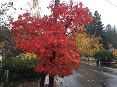Trees with red and yellow foliage in the drizzle