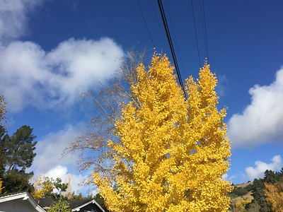 Tree in yellow foliage against blue sky
