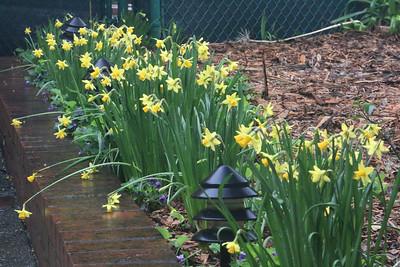 Small Daffodils in the rain
