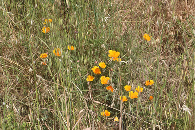 California poppies growing in tall grass