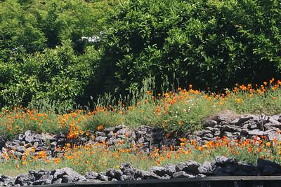 Row of California Poppies