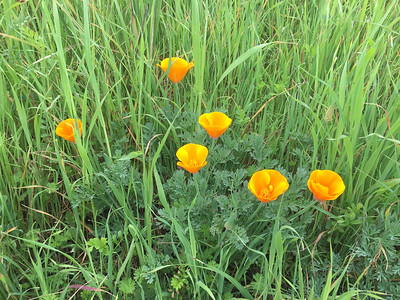 California Poppies in the grass