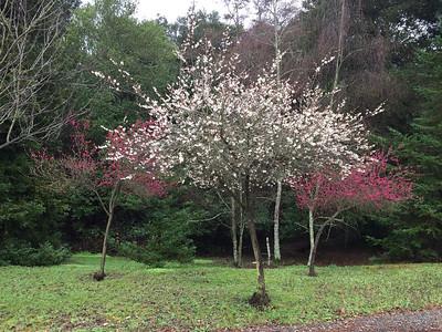 Plum trees in bloom next to San Leandro creek