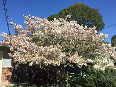 Blooming white flowering tree