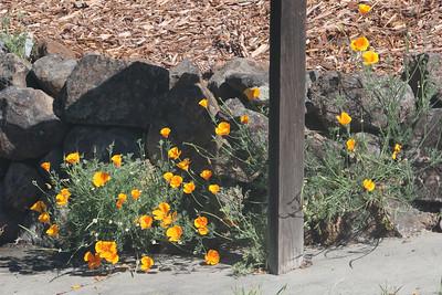California poppies growing through rocks
