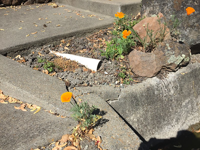 California Poppy growing through concrete