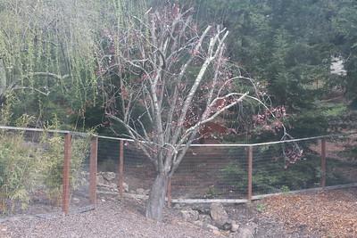 Old plum tree next to creek