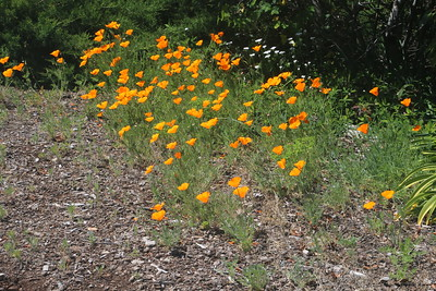California Poppies in rocky soil