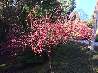 Plum tree blooming very early