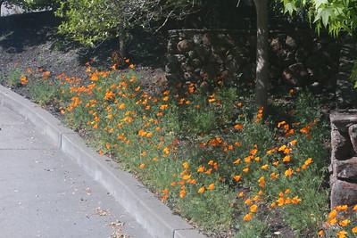California poppies along driveway