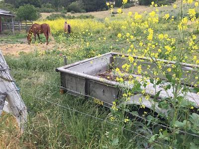 Wild mustard growing in horse field