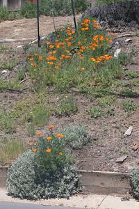 California Poppies next to street