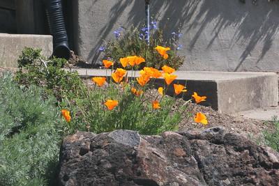 California Poppies behind rock