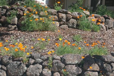 California Poppies along rock walls