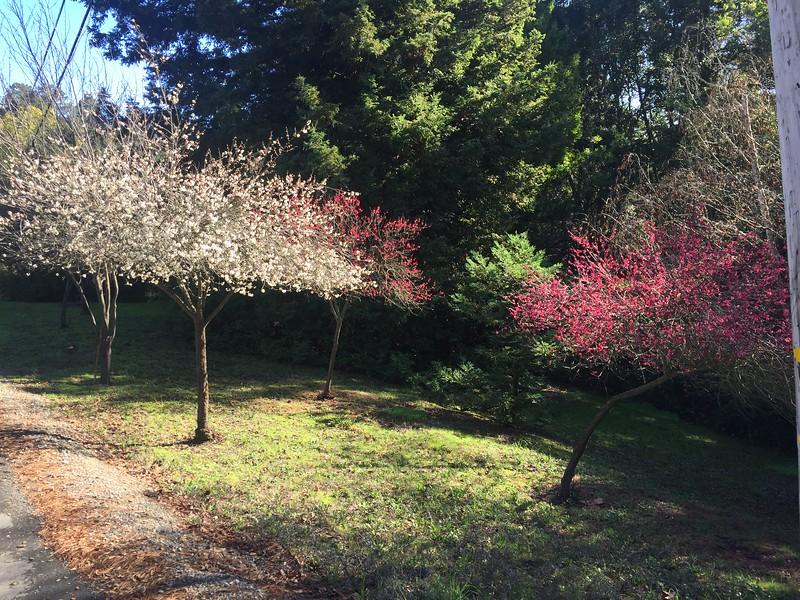 3 plum trees in bloom