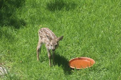 Newborn deer next to watering dish