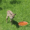 Newborn deer next to watering dish