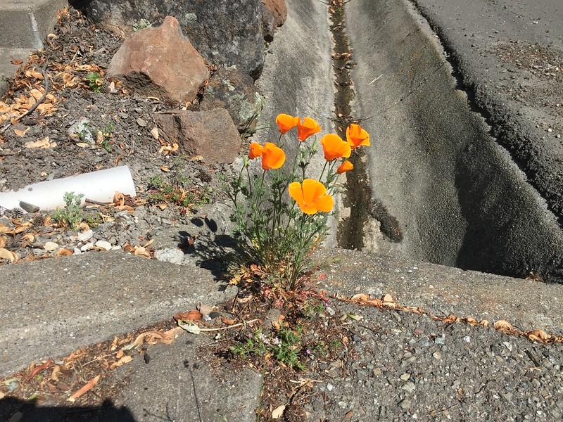 California poppy growing through concrete crack