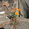 California poppy growing through concrete crack