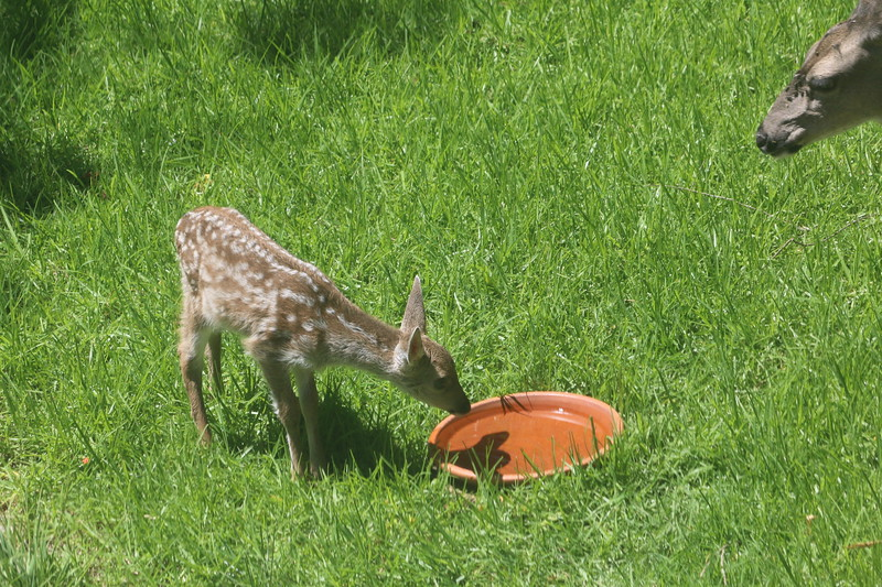 Newborn deer drinking