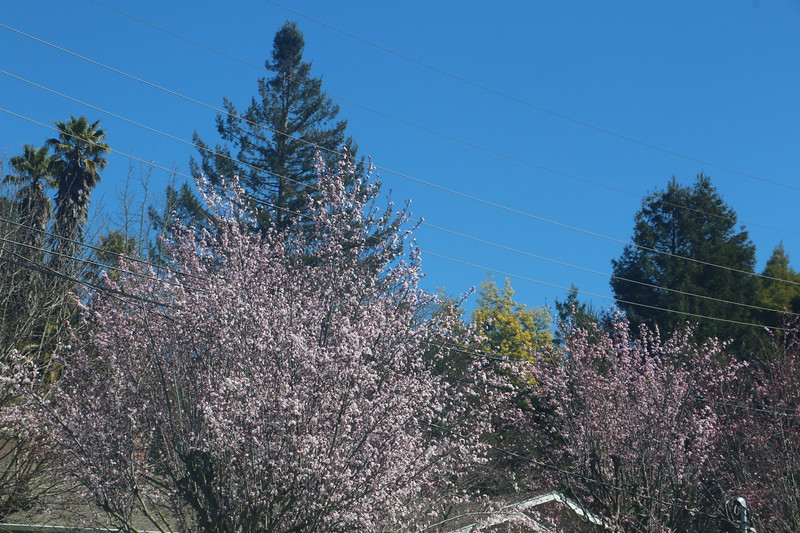 Blooming trees with Acacia in background