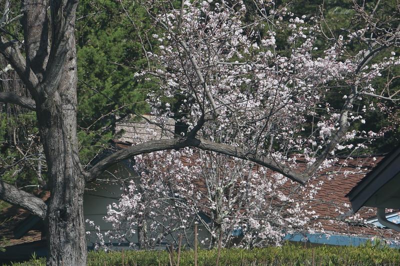 Flowering tree behind bare tree