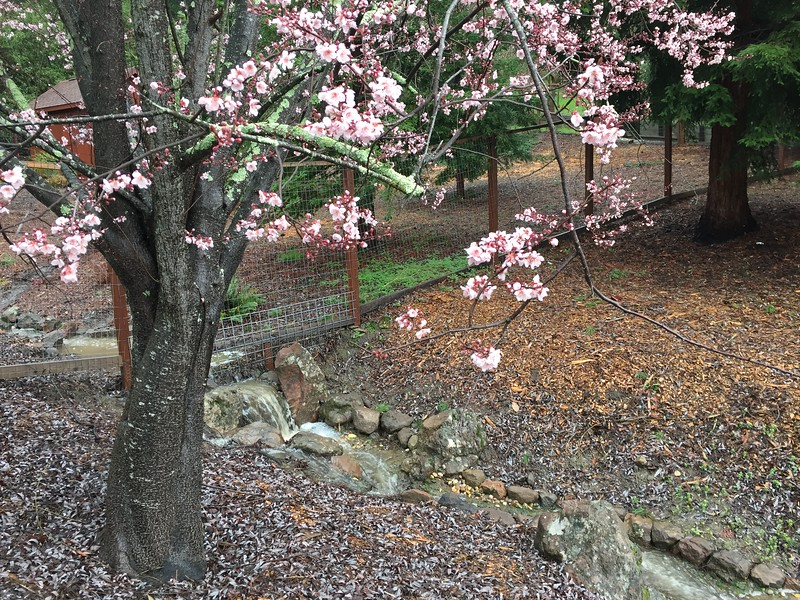 Spring flowering tree in front of waterfall