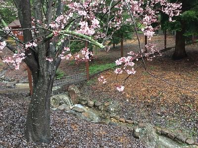 Spring flowering tree in front of waterfall