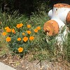 California Poppies next to fire plug