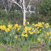 Daffodils and birch tree