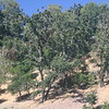Damaged pine tress behind school-yard