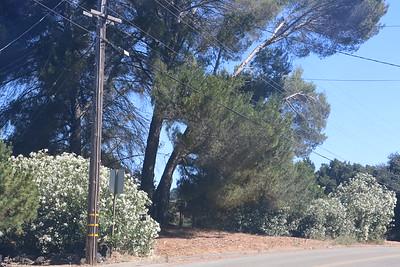 Oleanders growing on an unused lot