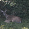 Doe resting in yard after a drink