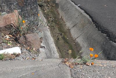 CA Poppy growing through concrete