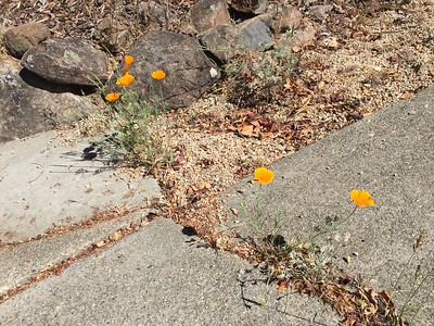 California poppies growing cracked concrete