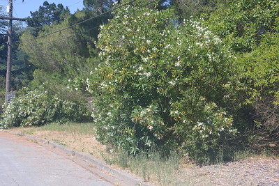 Oleanders along side of road