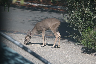 A deer eating bird seed on driveway