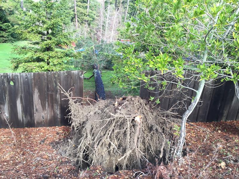 Tall pine tree fallen on hill