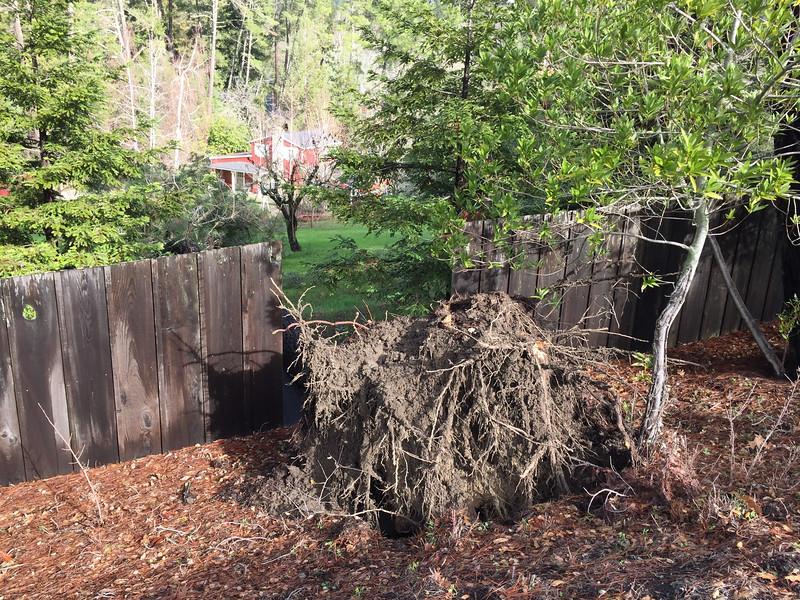 Pine tree overturned on hill
