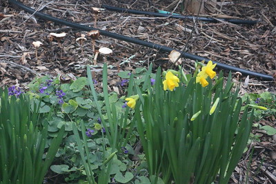 Changing of the guard - daffodils for mushrooms