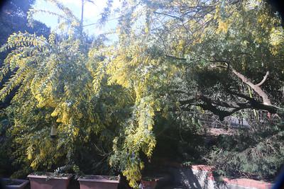 Broken Acacia branch - overall view