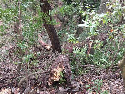 Fallen tree in creek viewed at stump