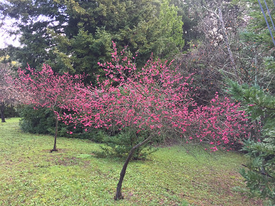 Plum trees in bloom in the middle of winter