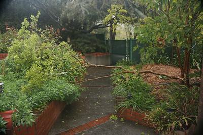 Broken branch of Crepe Myrtle