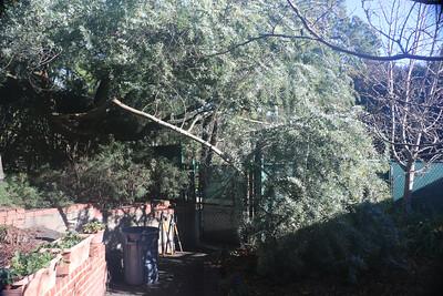 Fallen Acacia branch