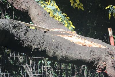 Broken Acacia branch - break side view
