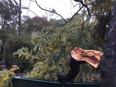 Broken Acacia branch
