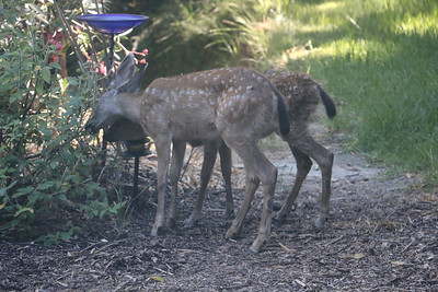 Two fawns eating